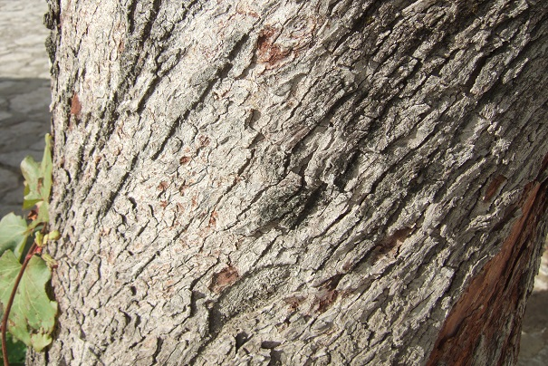Cercis siliquastrum - arbre de Judée  - Page 4 Dscf7866