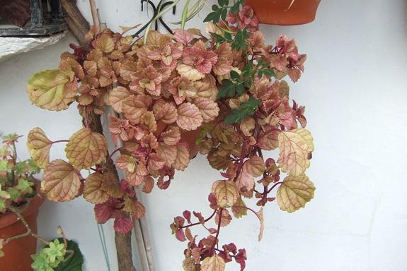 plectranthus ver - Plectranthus verticillatus Dscf7867