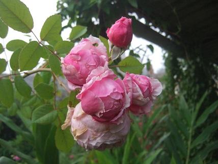 Les rosiers  parfumés Dscf7880