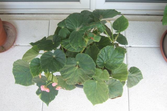 Begonia chitoensis Dscf7918