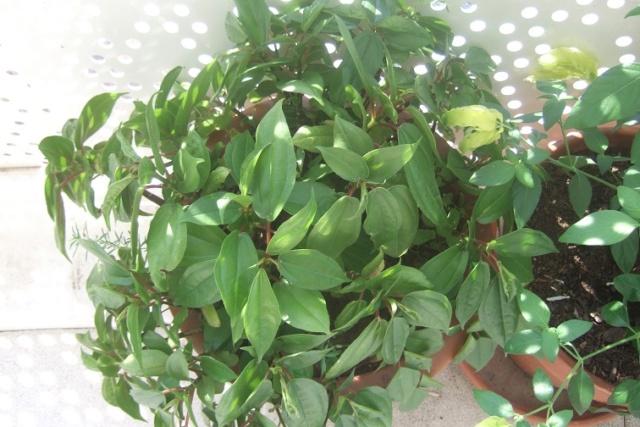 Pilea plataniflora Dscf7931