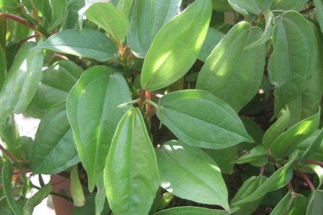 Pilea plataniflora Dscf7932