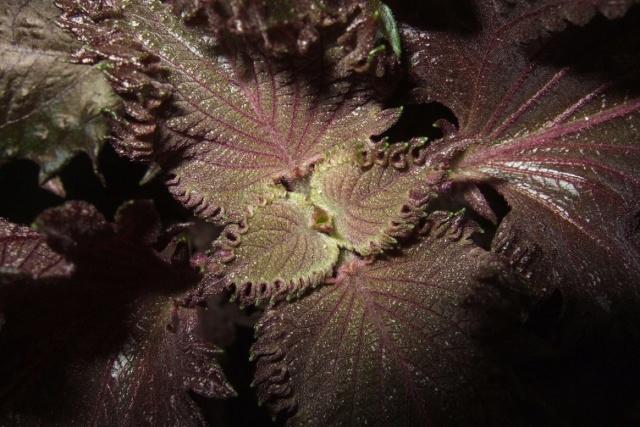 Perilla frutescens - shiso Dscf7938