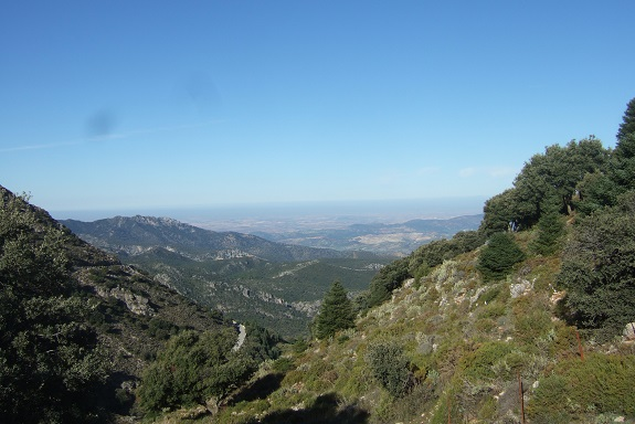 Abies pinsapo - sapin d'Espagne  Dscf7959