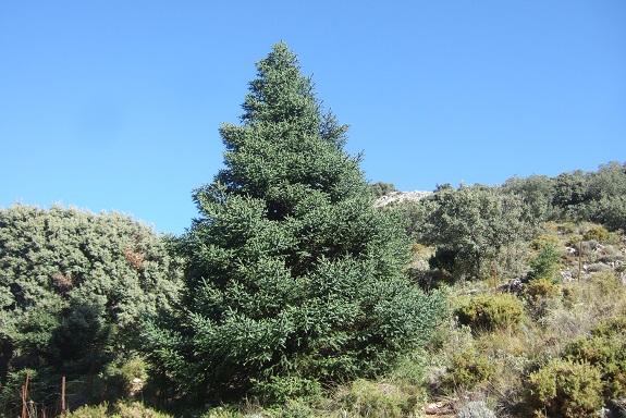 Abies pinsapo - sapin d'Espagne  Dscf7960