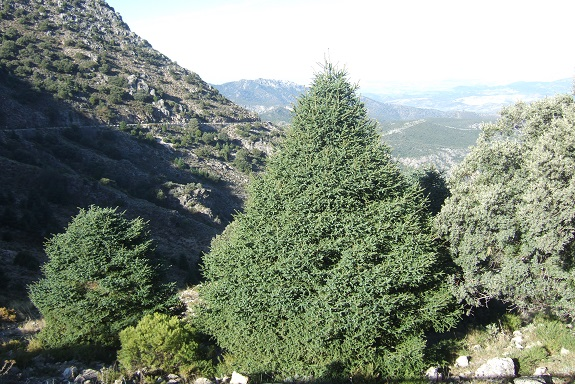 Abies pinsapo - sapin d'Espagne  Dscf7961