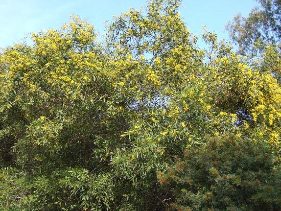 Acacia saligna Dscf7977