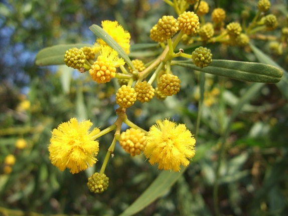Acacia saligna Dscf7978