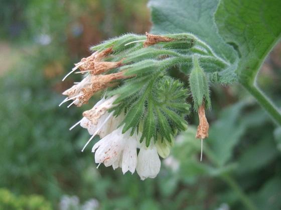 Symphytum orientale et hybrides - consoude orientale - Page 3 Dscf7988