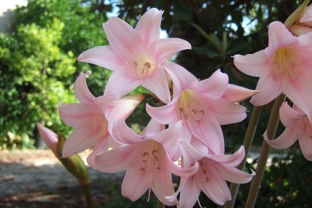Amaryllis belladona - Page 4 Dscf8014