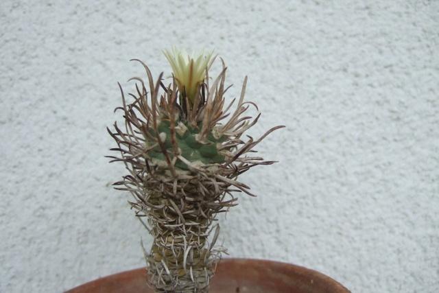 Turbinicarpus schmiedickeanus ssp. flaviflorus Dscf8033