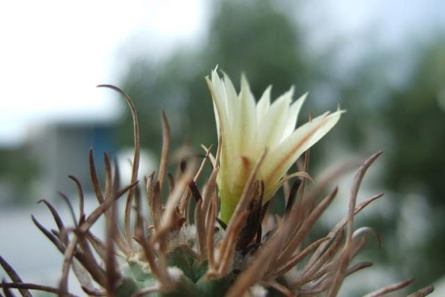 Turbinicarpus schmiedickeanus ssp. flaviflorus Dscf8035