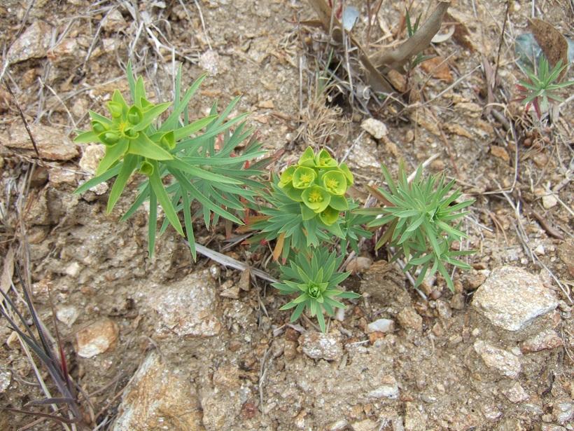 Euphorbia segetalis subsp. segetalis Dscf8045