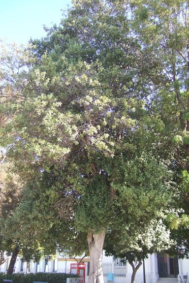 lagunaria - Lagunaria patersonii Dscf8053