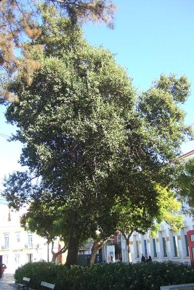 Lagunaria patersonia Dscf8054