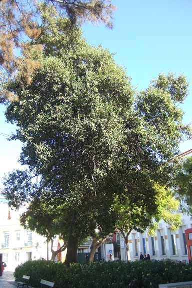 lagunaria - Lagunaria patersonii Dscf8054