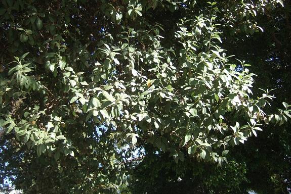 Lagunaria patersonia Dscf8055