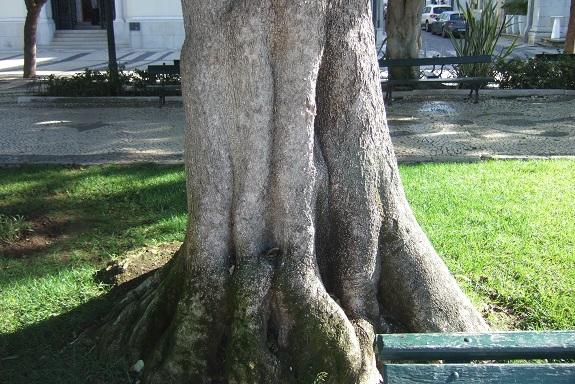 Lagunaria patersonia Dscf8056