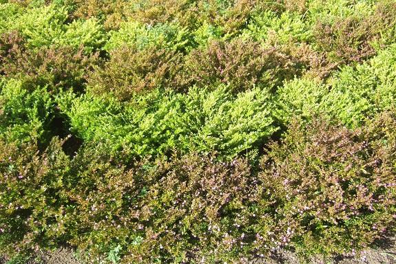 Cuphea hyssopifolia - cuphea à feuilles d'Hysope Dscf8058