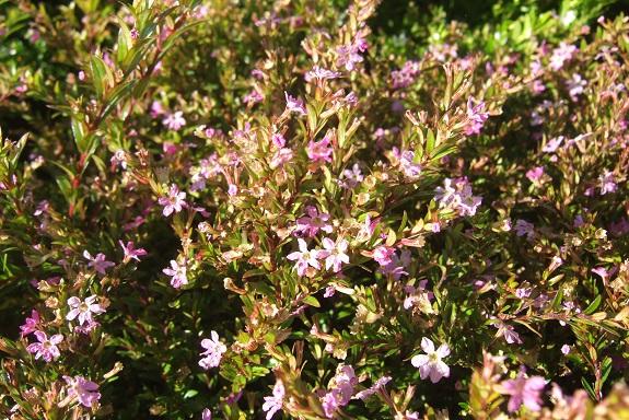 Cuphea hyssopifolia - cuphea à feuilles d'Hysope Dscf8059