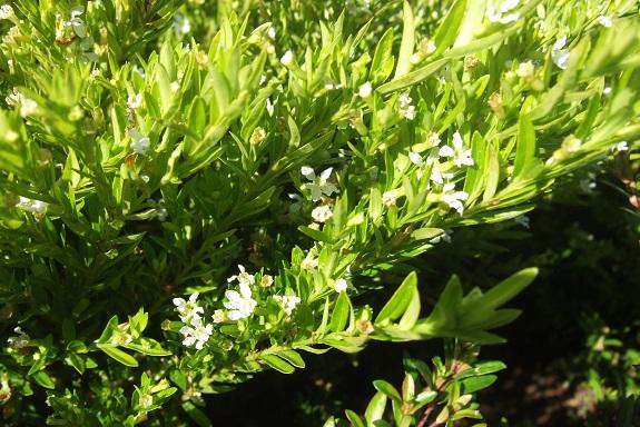Cuphea hyssopifolia - cuphea à feuilles d'Hysope Dscf8060