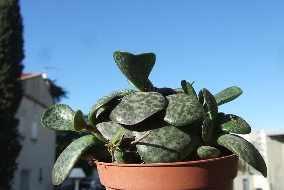 adromischus maculata - Adromischus trigynus Dscf8105