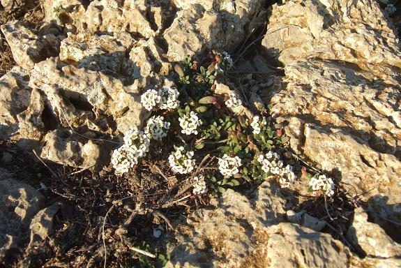 Lobularia maritima - Alysson maritime Dscf8135