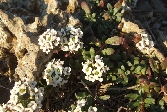 Lobularia maritima - Alysson maritime Dscf8136