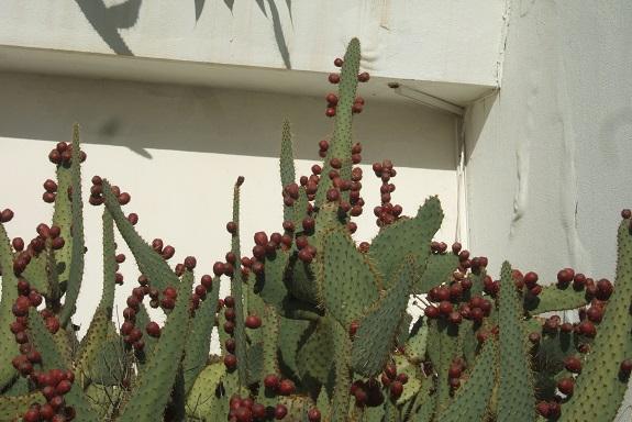 Opuntia engelmannii f. linguiformis Dscf8139