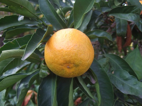 Citrus reticulata subsp. unshiu - mandarinier satsuma - Page 2 Dscf8166
