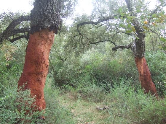 Quercus suber - chêne liège - Page 3 Dscf8178