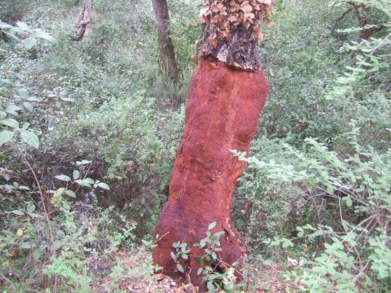 Quercus suber - chêne liège - Page 3 Dscf8181