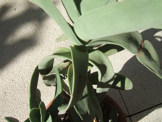 Crassula perfoliata var. falcata (= C. perfoliata var. minor = C. falcata) - Page 3 Dscf8191