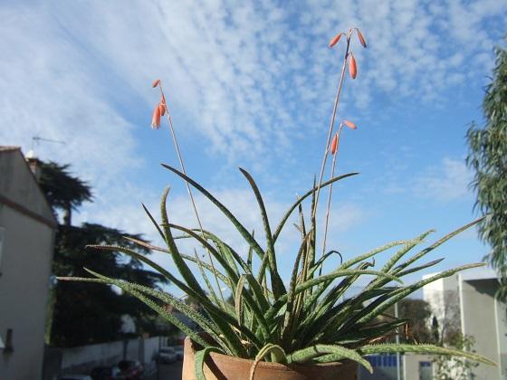 Aloe bellatula  Dscf8192
