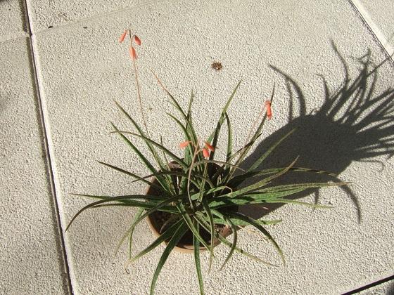 Aloe bellatula  Dscf8193