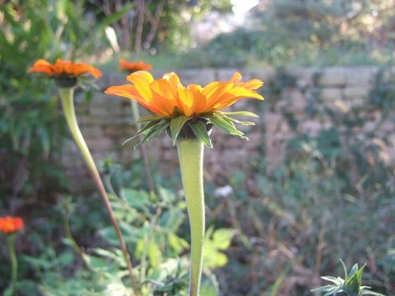 Tithonia rotundifolia - soleil du Mexique Dscf8197
