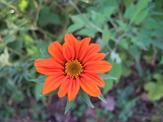 Tithonia rotundifolia - soleil du Mexique Dscf8198