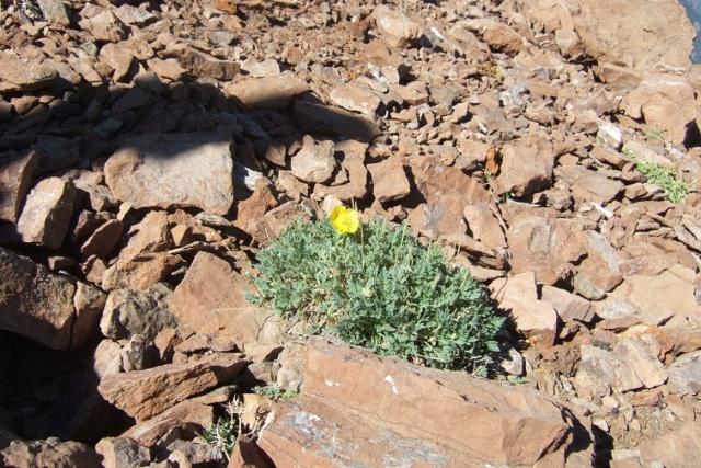 Papaver alpinum - pavot des Alpes Dscf8212