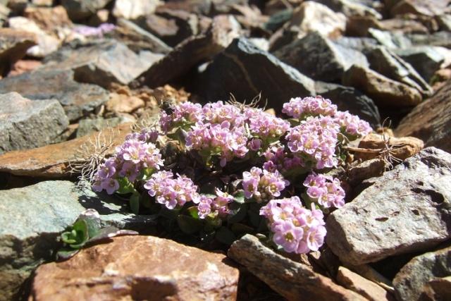 Noccaea rotundifolia - tabouret à feuilles rondes Dscf8217