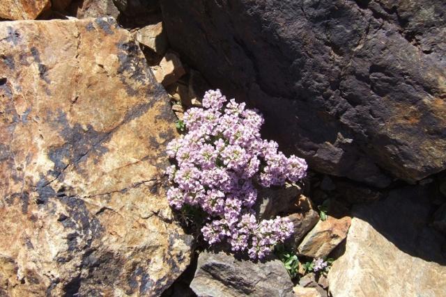 Noccaea rotundifolia - tabouret à feuilles rondes Dscf8219