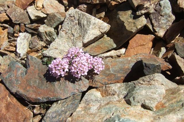Noccaea rotundifolia - tabouret à feuilles rondes Dscf8220
