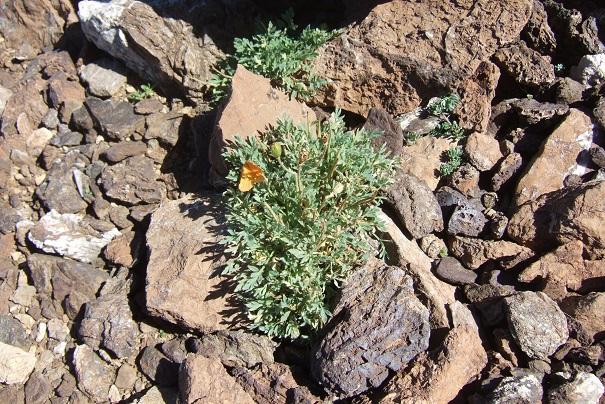 Papaver alpinum - pavot des Alpes Dscf8222