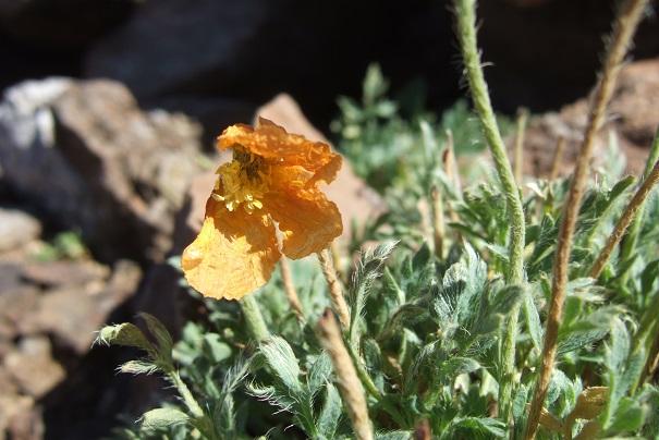Papaver alpinum - pavot des Alpes Dscf8223