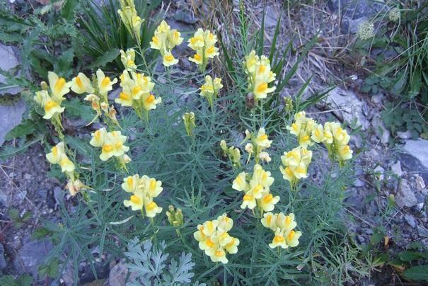 Linaria vulgaris - linaire commune Dscf8225