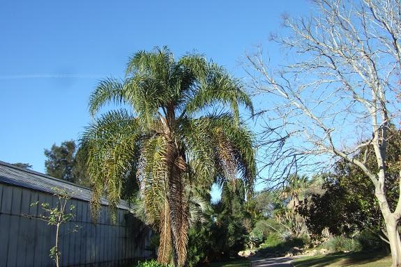 Syagrus romanzoffiana - palmier reine - Page 2 Dscf8253
