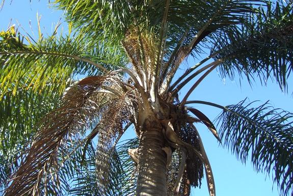 Syagrus romanzoffiana - palmier reine - Page 2 Dscf8254