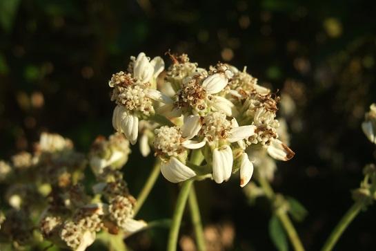 Verbesina virginica Dscf8259