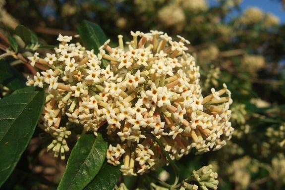 buddleia - Buddleja auriculata Dscf8263