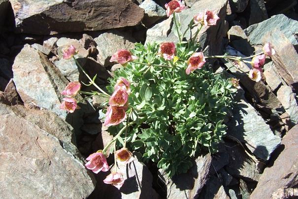 Ranunculus glacialis - renoncule des glaciers Dscf8271
