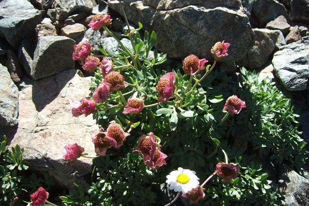 Ranunculus glacialis - renoncule des glaciers Dscf8272